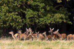 Watchful female red deers during the rut - pride of hinds at the border of a  Stock Photos