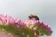 bee (apis mellifera), blossoms, forage - stock photo