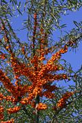 Sea buckthorn - bush with berries - sallow thorn - medicinal plant (hippophae Stock Photos