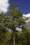 Scotch pine - scots pine - conifer - (pinus sylvestris) Stock Photos