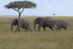 African elephants (loxodonta africana), masai mara national park, kenia, afri Stock Photos