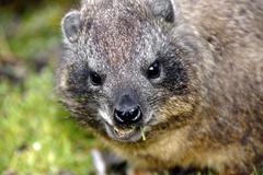 Portrait rock hyrax (procavia capensis) mammal mount kenya national park keny Stock Photos