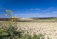 yellow wild flower in front of a mowed and desiccated fields crete tuscany it - stock photo