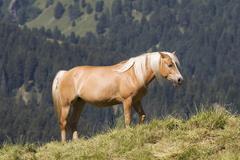 haflinger horse, seiser alm, south tyrol, italy - stock photo