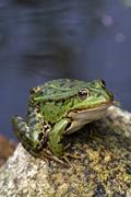European edible frog sitting on a stone at a garden pond (rana esculenta) Stock Photos