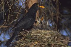 Blackbird (turdus merula) at nest Stock Photos