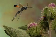 Sand wasp (ammophila sabulosa) Stock Photos