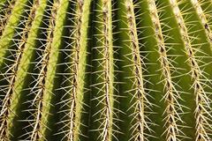 Golden barrel cactus, golden ball, mother-in-law\'s cushion, echinocactus gru Stock Photos