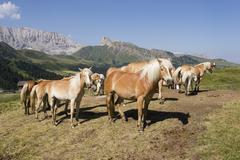 Haflinger horses, seiser alm, south tyrol, italy Stock Photos