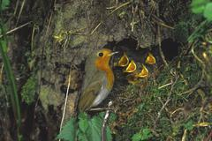 Robin robins (erithacus rubecula) nest with fledglings Stock Photos