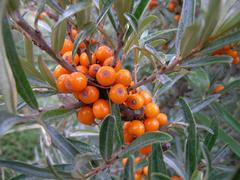 Stock Photo of sallow thorn hippophae rhamnoides braches and berries