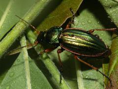 Golden ground beetle (carabus auratus) Stock Photos