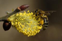 western honey bee (apis mellifera collecting pollen on goat willow europe - stock photo