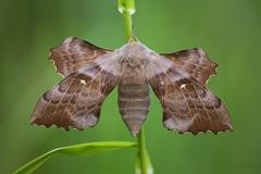 Poplar hawk moth (laothoe populi) Stock Photos