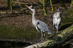 Stock Photo of old and young grey herons standing on an tree - gray herons - european common