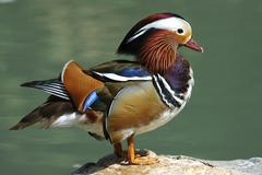male mandarin duck , aix galericulata - stock photo