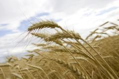 Ripe spike, barley field Stock Photos