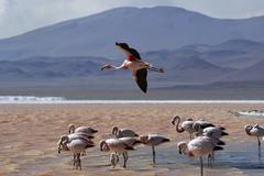 andean flamingo (phoenicopterus andinus), laguna colorada, uyuni highlands, b - stock photo
