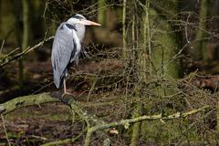 Grey herons standing on an branch - gray herons - european common herons (ard Stock Photos