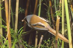 Bearded reedling, (panurus biarmicus) with food for fledglings, hortobagy-lak Stock Photos