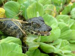 portrait of a young caiman (caiman yacare) sitting on aquatic plants, gran ch - stock photo