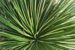 Stock Photo of agave echinioides