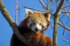 Red panda (lat. ailurus fulgens) Stock Photos