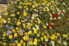 Stock Photo of in spring the archaeological site is covered with colorful flowers, delos, gr