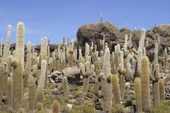 Cactuses (trichocereus pasacana bzw. echinopsis atacamensis) on the isla del  Stock Photos