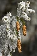 cones of a fir (picea abies) with hoarfrost - stock photo