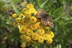 arran brown butterfly / erebia neriene, magadan area, eastern siberia, russia - stock photo