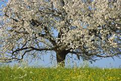 Stock Photo of blossoming cherry tree (prunus avium), switzerland
