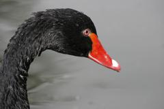 Black swan cygnus atratus, portrait Stock Photos