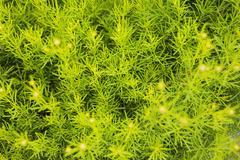 Detail of a fennel, foeniculum vulgare ssp.vulgare Stock Photos