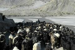Herd of goats move into the kali gandaki river valley near jomsom mustang ann Stock Photos