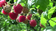 Sweet raspberry on bush and summer wind Stock Footage