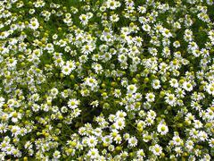 Stock Photo of camomile chamomile matricária chamomilla in full bloom