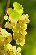 Riesling grapes on grape-vine Stock Photos