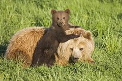 European brown bear mother with cub (ursus arctos) Stock Photos