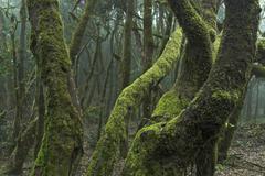 Virgin laurel forest in garajonay national park, la gomera island, canary isl Stock Photos