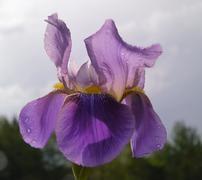 Flower of iris barbata, iridaceae, in back light Stock Photos