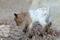Baby domestic goat - stock photo