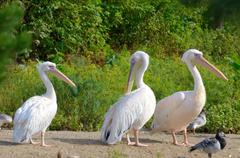 Great White Pelican (Pelecanus onocrotalus) in zoological garden Stock Photos