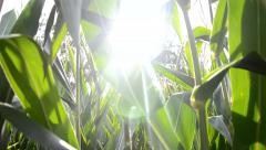 Walk cross maize field at sunset, Slovakia - stock footage