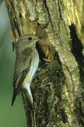 Spotted flycatcher (muscicapa striata) at nest with fledglings Stock Photos