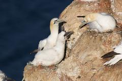 Stock Photo of northern gannet (sula bassana or morus bassanus) at nest with offspring