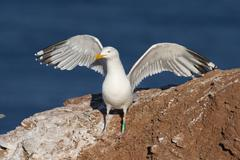 Herring gull (larus argentatus)with spread wings, Stock Photos
