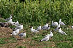 Colony of black-headed gulls in a bird sanctuary (larus ridibundus) Kuvituskuvat