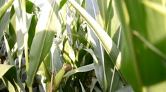 Walk cross maize field, Slovakia - stock footage