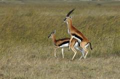 Springbok antelopes, pairing (antidorcas marsupialis), masai mara, kenya, afr Stock Photos
